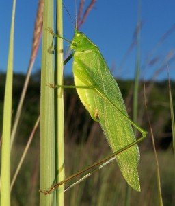 Male katydid. [Credit: Bruce Marlin, via Wikimedia Commons]