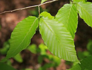 Fagus grandifolia leaves s