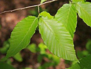 Fagus grandifolia leaves s