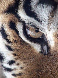 Tiger eye s