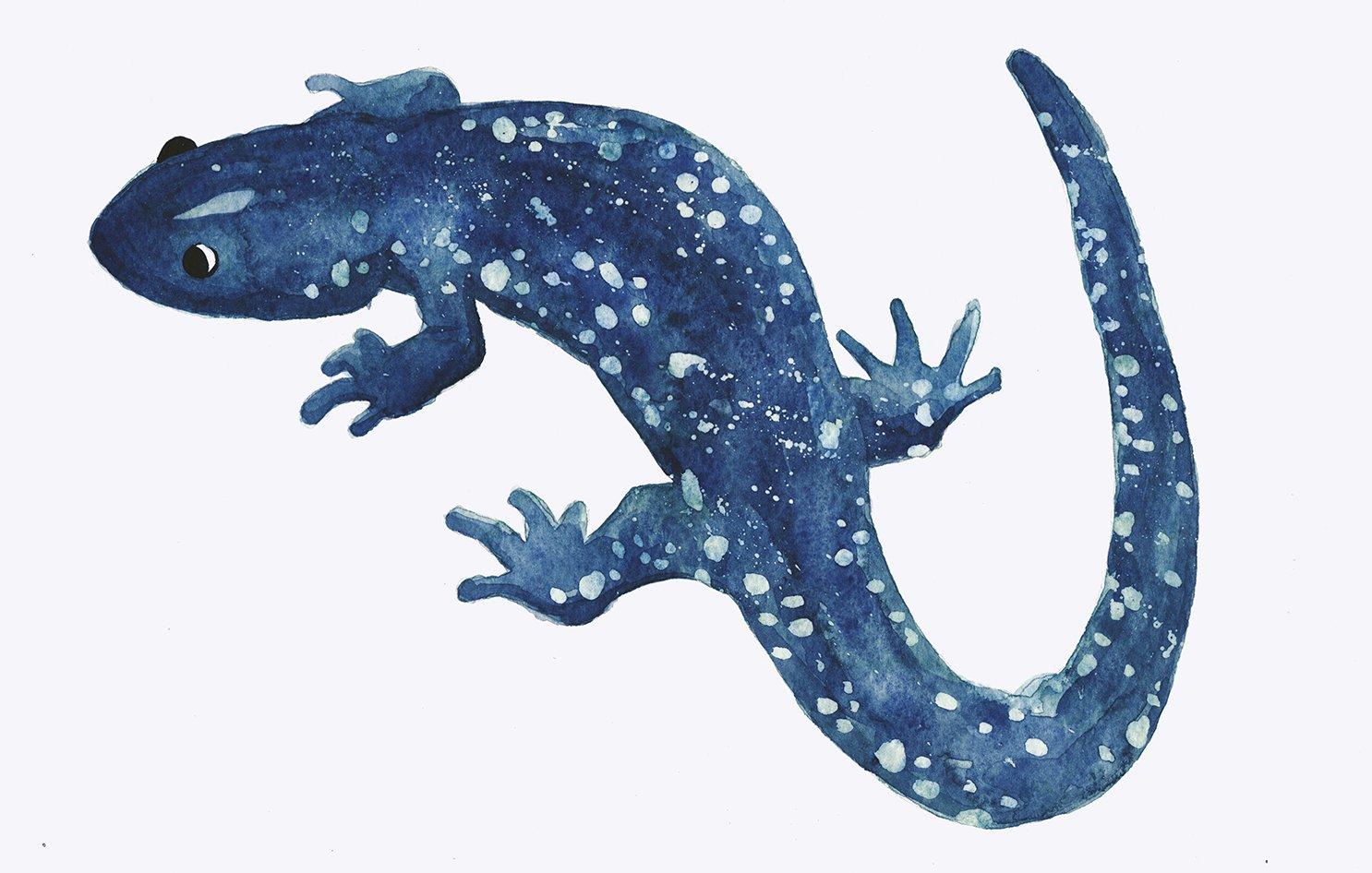 WSalamander