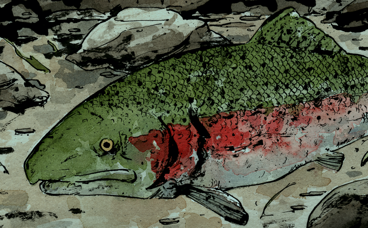 Steelhead Illustration - David Wilson