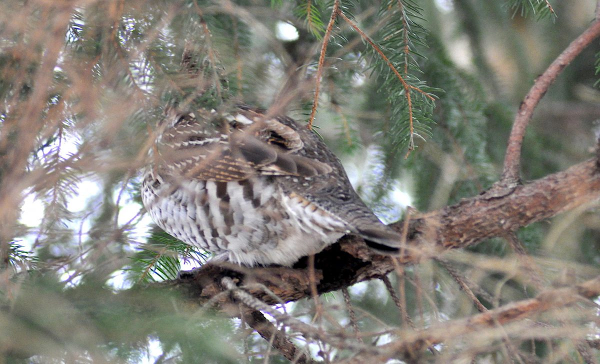 Gosnell - Ruffed Grouse